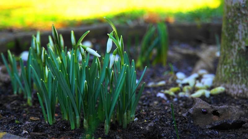 Rośliny wczesnowiosenne – jak zadbać o piękne kwiaty?