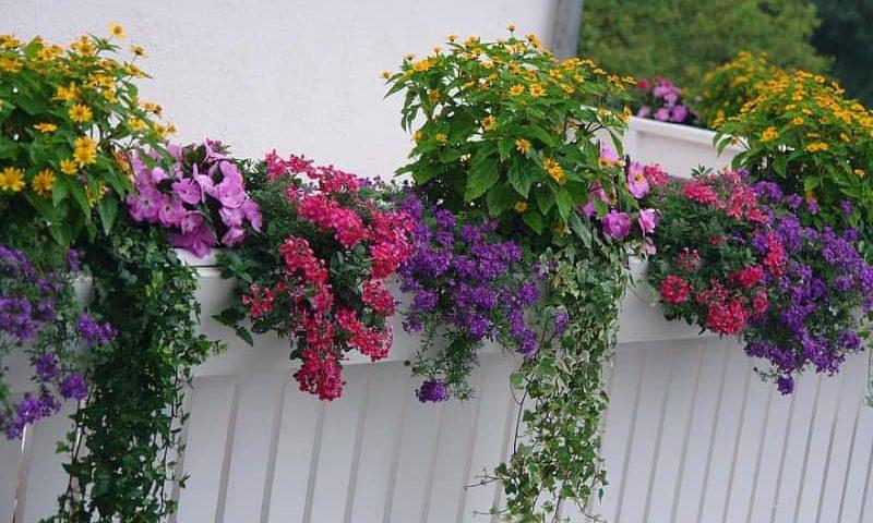 Jak pielęgnować rośliny balkonowe?